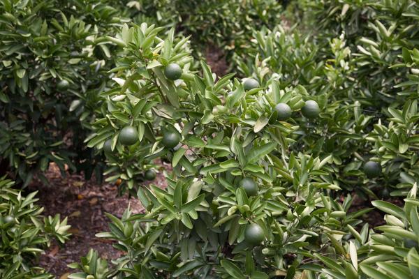 Ehimes Spezialität: Zitrusfrüchte